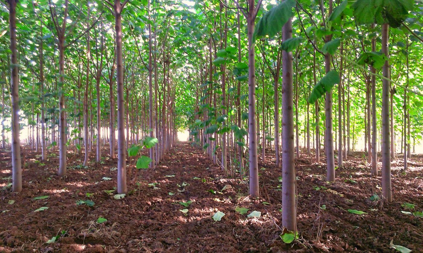 Proprietà Cenere Di Legna coltivare paulownia in italia: investimento, guadagno e