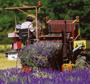 Coltivare lavanda in rete di imprese for Piccole piantagioni