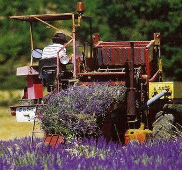 coltivare lavanda coltivazione lavanda olio essenziale di lavanda coltivazione intensiva lavanda pianta officinale coltivare lavanda reddito