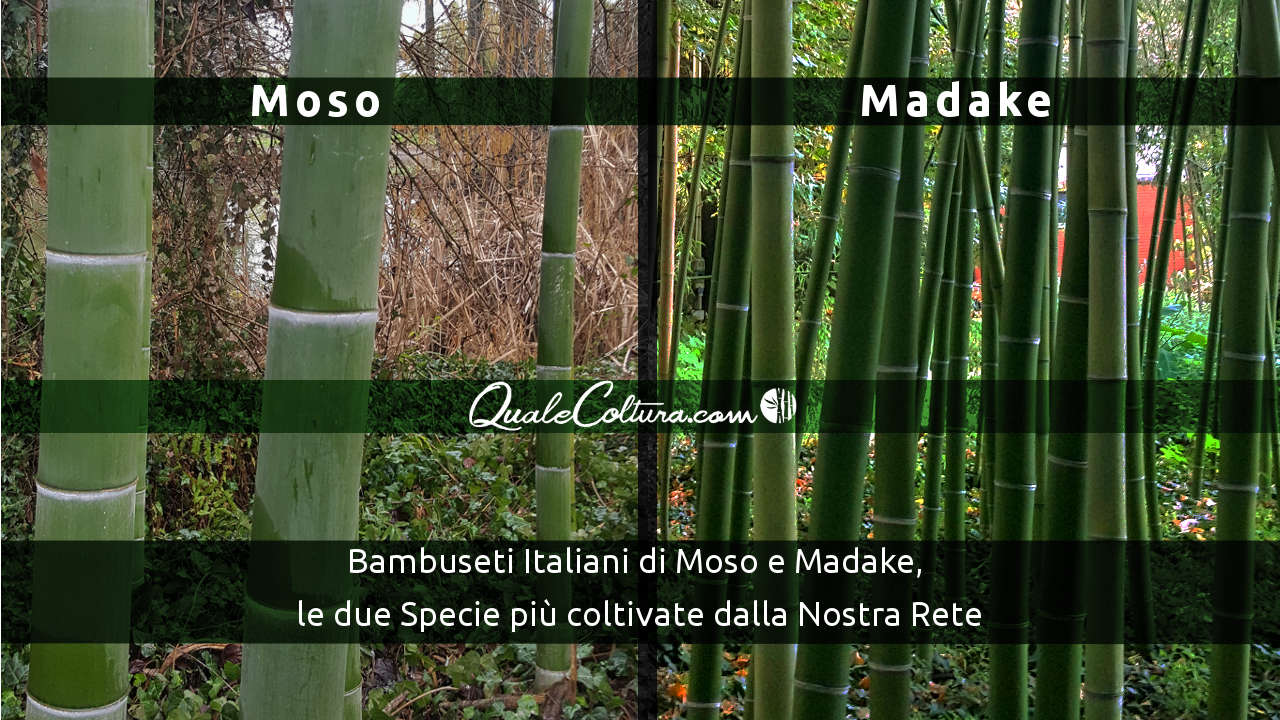 Differenze fra Moso e Madake Moso o Madake Quale Scegliere Piante adulte di Moso Bamboo Piante adulte di Madake Bamboo Phyllostachys Edulis Phyllostachys Bambusoides