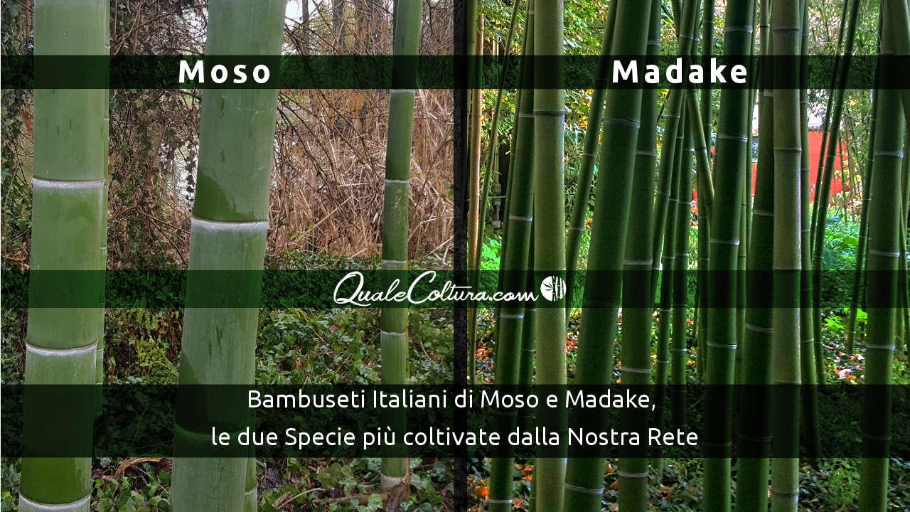 Differenze fra moso e madake le due specie di bamb for Bamboo coltivazione