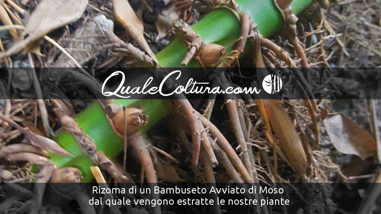 Bambù Gigante – Rizoma Nostra Coltivazione di Madake e Moso in Centro Italia Adriatico - Bambuseto Marche