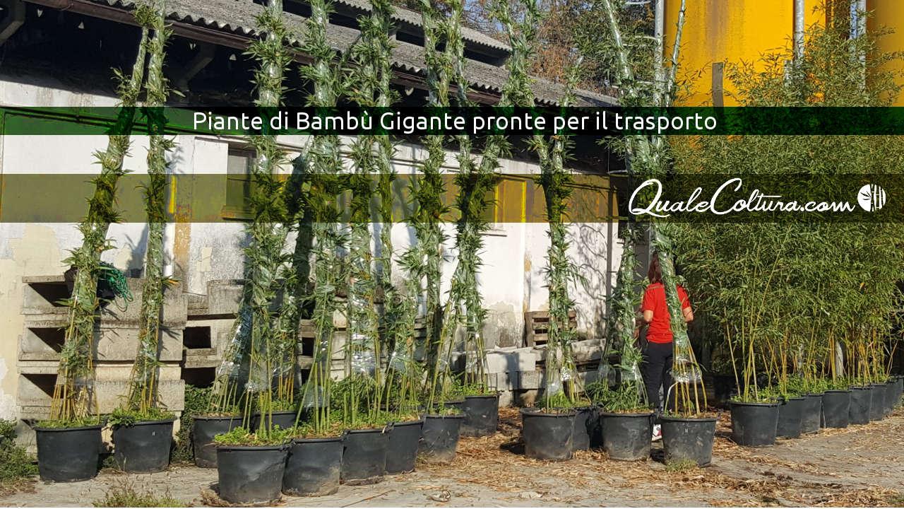 bambuseti in Italia piantagioni di bambù gigante coltivazioni Madake e Moso Pianura Italiabambù gigante investimento bambù gigante opinioni bambù gigante costo bambù gigante prezzi investire in bambù gigante