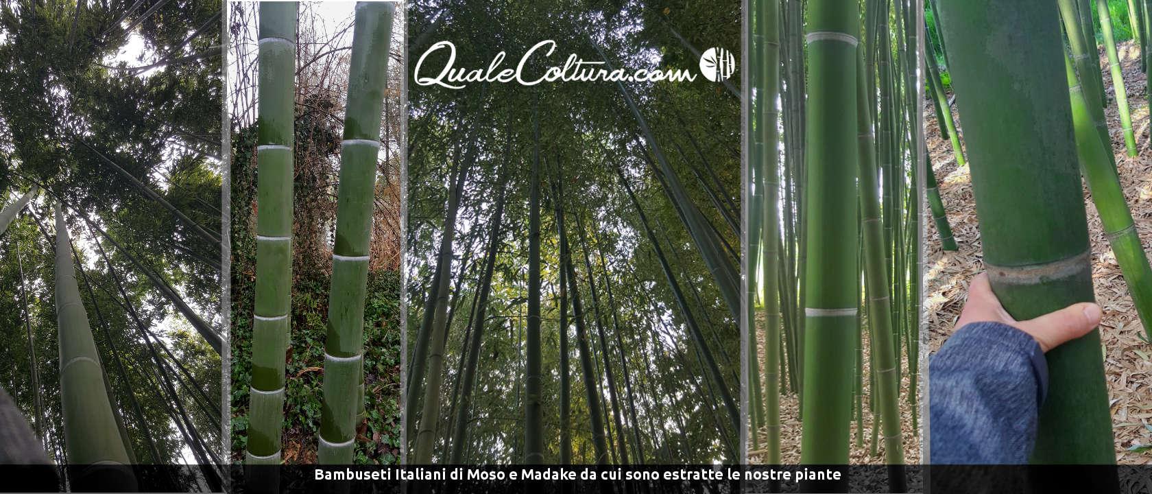 coltivazioni redditizie cosa conviene coltivare quale coltura rende di più coltivazioni remunerative coltivazioni alto guadagno Foreste di bambù gigante in Italia Bambuseti Piantagioni Moso Madake
