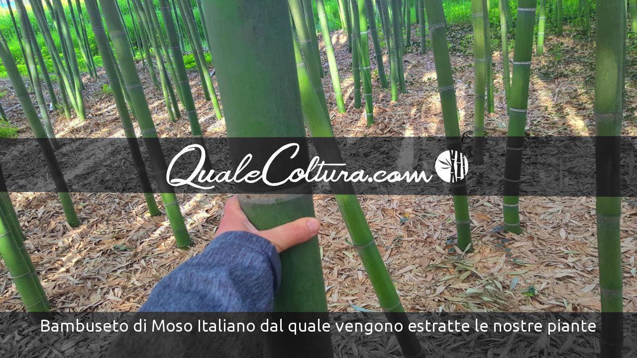 Vendita Piante Bambu Milano.Come Si Coltiva Il Bambu Gigante Mostriamo I Nostri Bambuseti Avviati