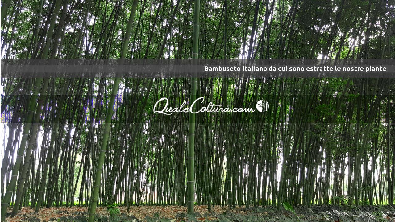Bambù Gigante - Nostra Coltivazione di Madake e Moso Avviata in Italia - Bambuseto Pianura Padana