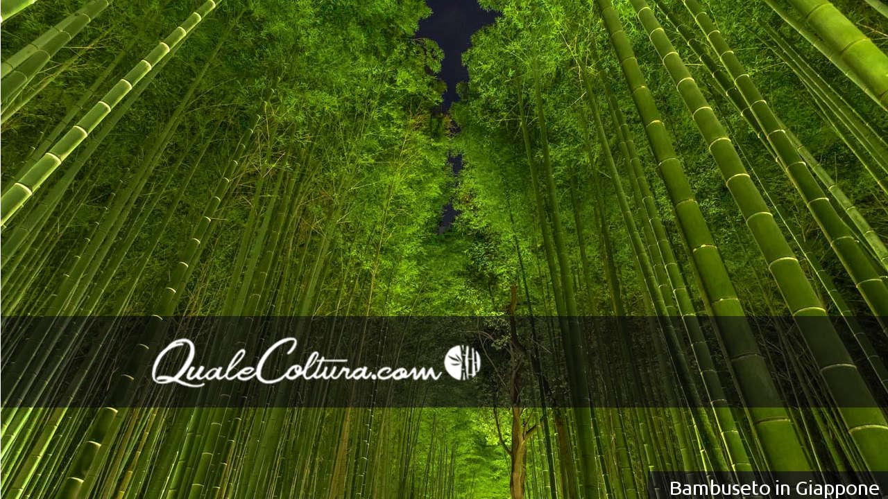 coltivazioni avviate di Bambù Gigante moso coltivazioni avviate di Bambù Gigante madake coltivazioni avviate di Bamboo Gigante bambù gigante crescita come si coltiva il bambù gigante bambù gigante irrigazione bambù gigante terreno coltivare bambù gigante foreste di bambù gigante piantagioni di bambù gigante bambuseti italiani coltivaziondi di legname bambù gigante in italia