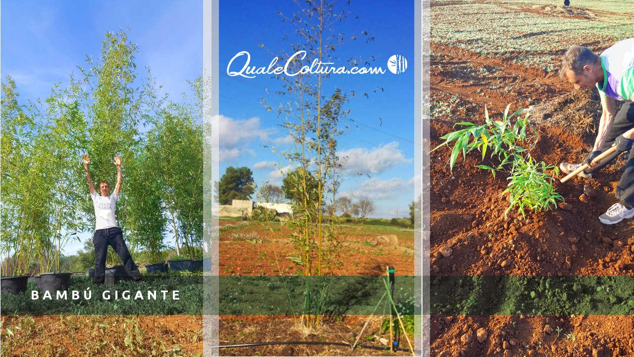 investire in bamb gigante analizza gratuitamente il tuo
