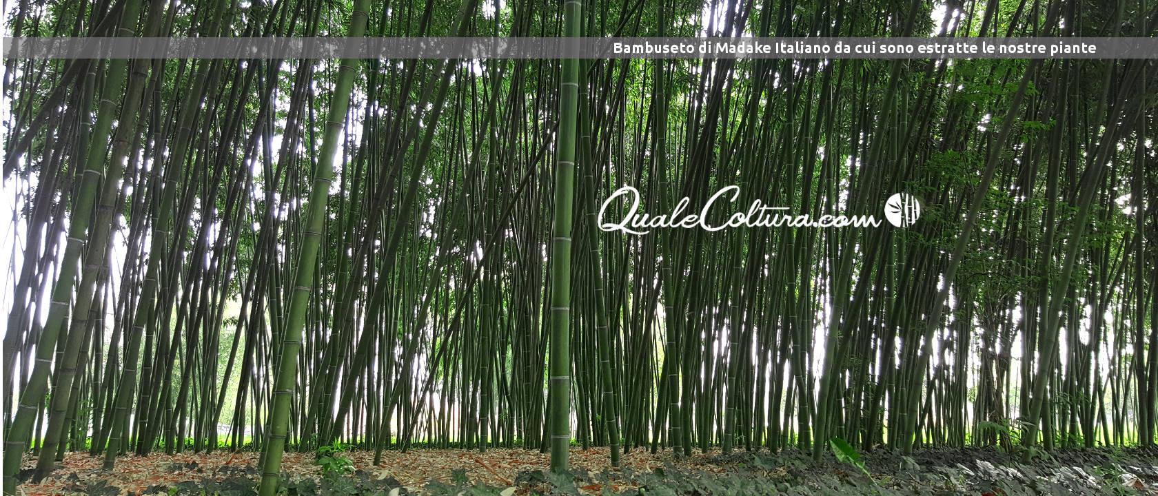 Coltivazioni redditizie quale coltura rende di pi in italia for Vendita piante bambu gigante