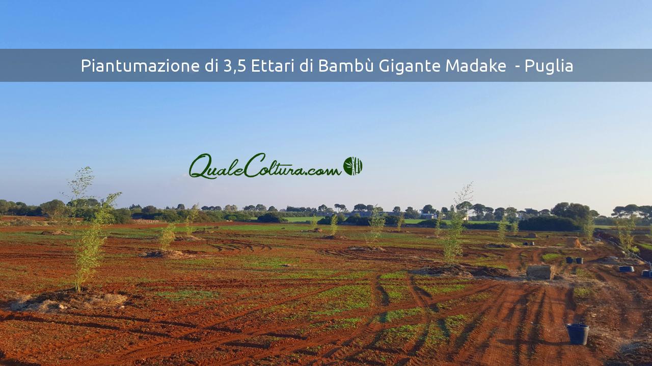 Piantare bambù gigante. Quindi Coltivazioni di bambù Madake, se Bambuseti in Italia. Allora Foreste di Bambù Gigante, inoltre piantagioni di Bambù Moso.