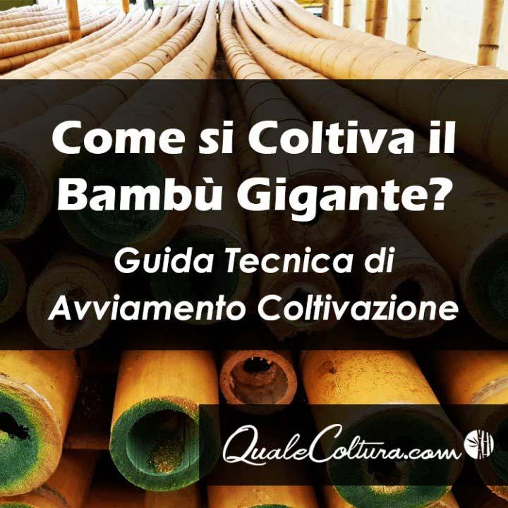 Come si Coltiva il Bambù Gigante? Piantagioni e Bambuseti in Italia