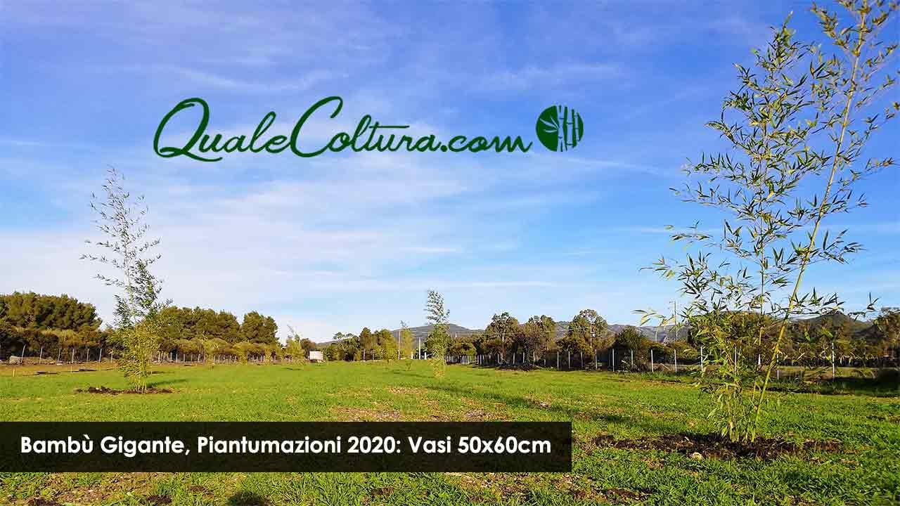Piantare Alberi Di Paulonia paulownia, canapa e bambù: il mercato nel decennio 2020